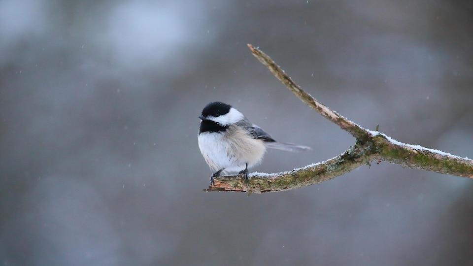 Un tout petit oiseau posé sur le bout d'une branche d'arbre recouverte d'une fine couche de neige.