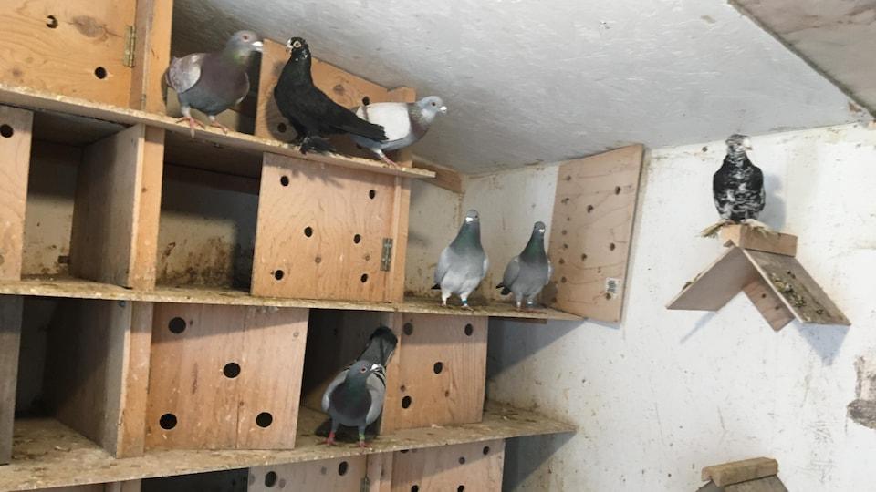 Des pigeons dans un columbarium : un oiseau est posé sur une structure triangulaire apposée au mur, d'autres sont dans des cassiers en bois.