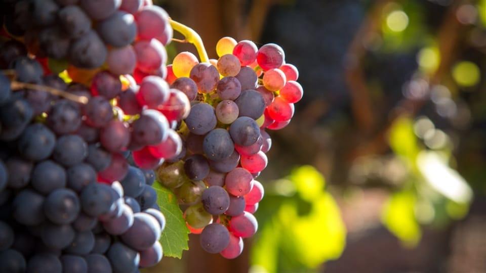 Des raisins rouges sur une vigne