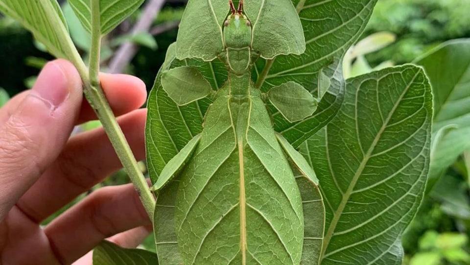 Une main se trouve près d'un insecte feuille.