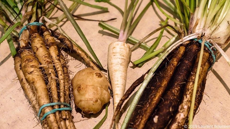 Des salsifis, un topinambour, une racine de persil et des scorsonères.