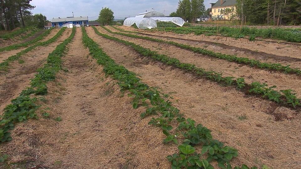 Les agriculteurs établis au nord du 50e parallèle peuvent maintenant profiter du Programme de crédit de taxesfoncières agricoles (PCTFA). Des fraisiers et autres plants cultivés aux serres de Colombier sur la Côte-Nord.