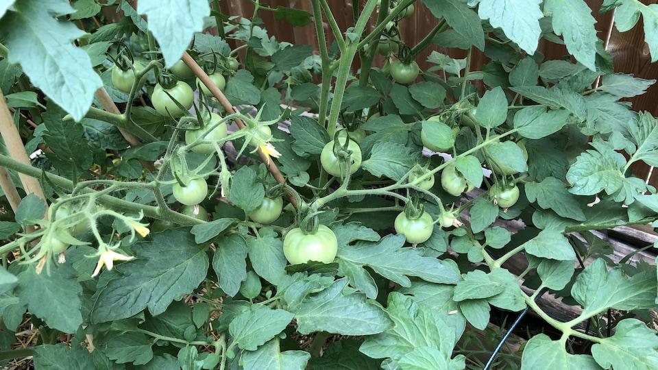 Un plant de tomates sur lequel plusieurs fruits verts sont prêts à être récolté.