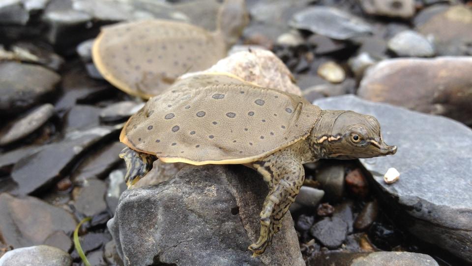 Une tortue-molle à épines