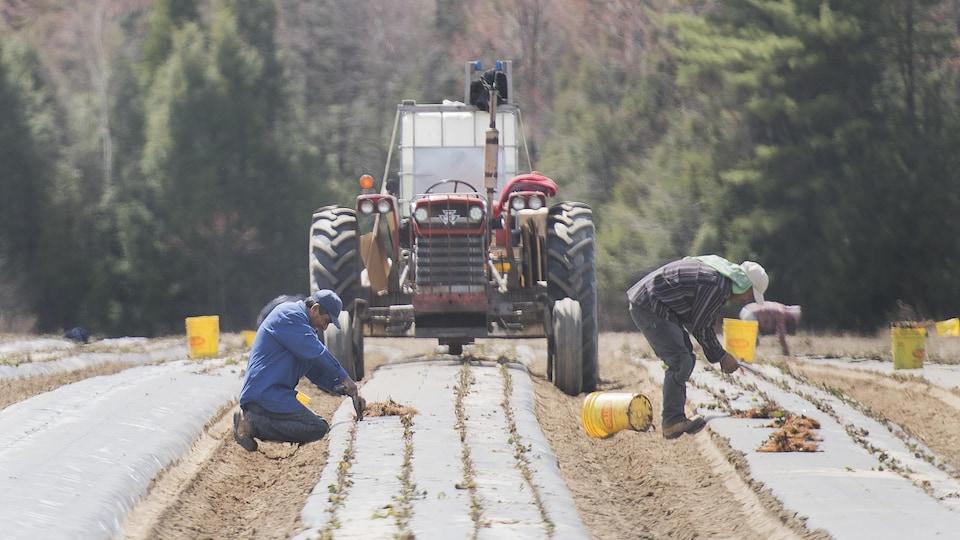 Des travailleurs agricoles plantent des fraises dans un champ du Québec.