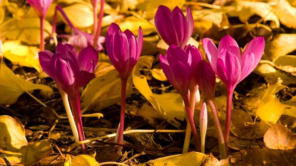 Colchicum in flower against autumn leaves on a sunny day in Scotland, UK