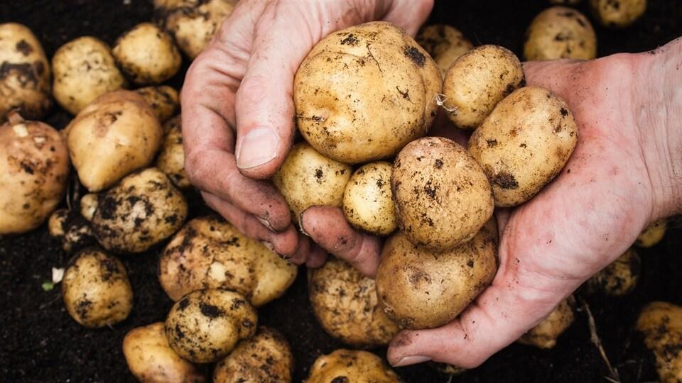 Un homme tient dans ses mains quelques pommes de terre fraîchement récoltées.