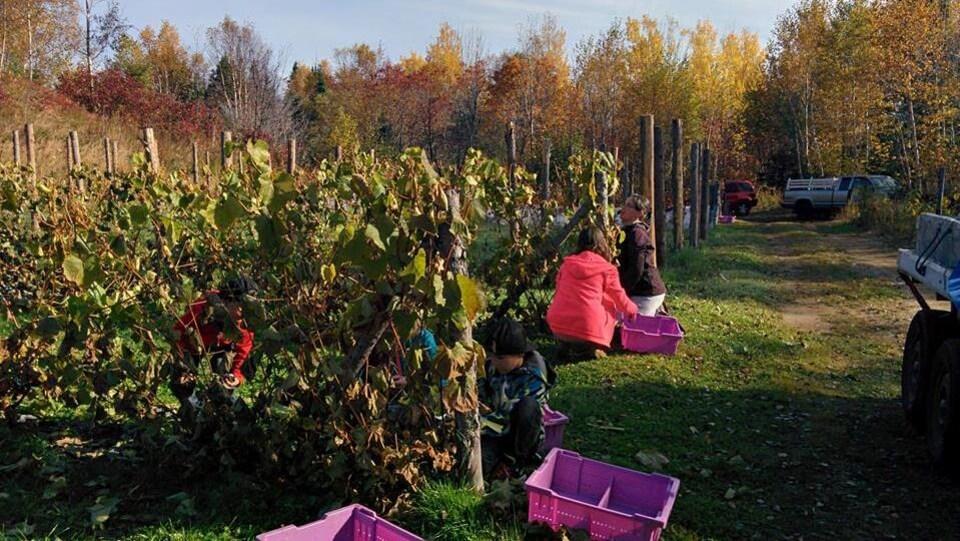 Des gens cueillent des raisins au vignoble Domaine Côte du Nord à Ragueneau.