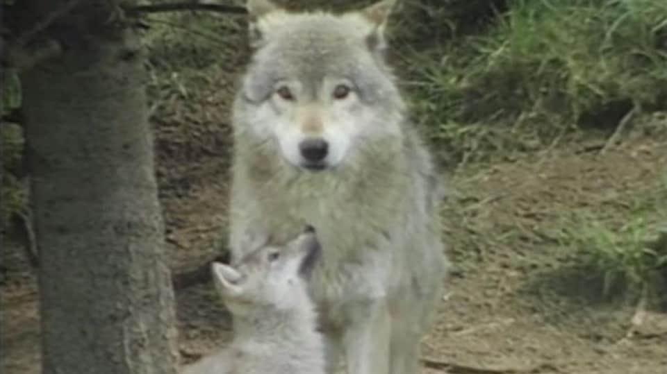 Un louveteau et sa mère au Zoo sauvage de Saint-Félicien en 1997.