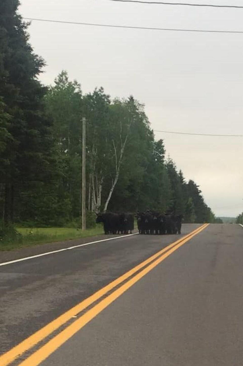 Des yacks sur une route asphaltée.