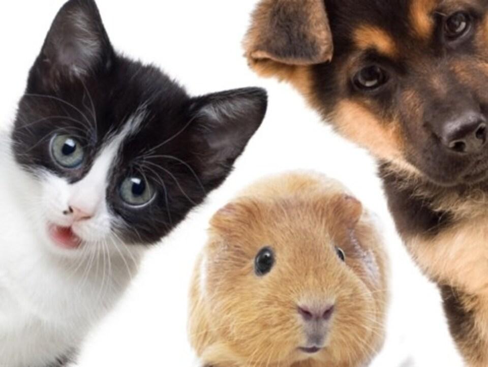 Certains animaux ont besoin de plus de stimulation et de plus d'exercice que d'autres. Un chaton, un cochon d'Inde et un chiot.
