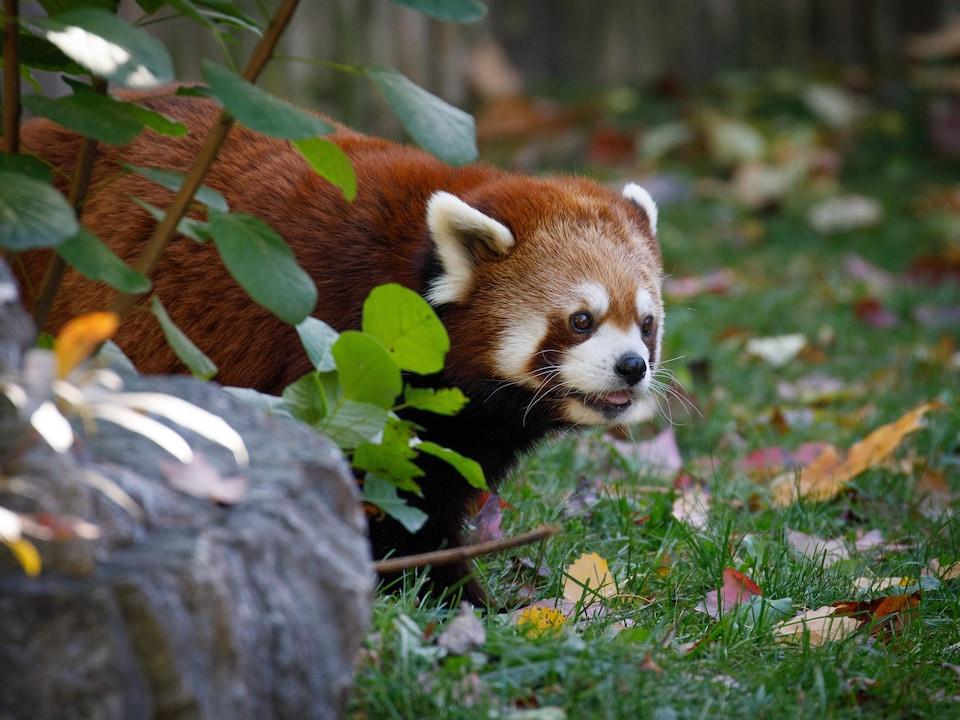 Un petit panda roux, aux yeux à contour masqué, sort de derrière une roche.