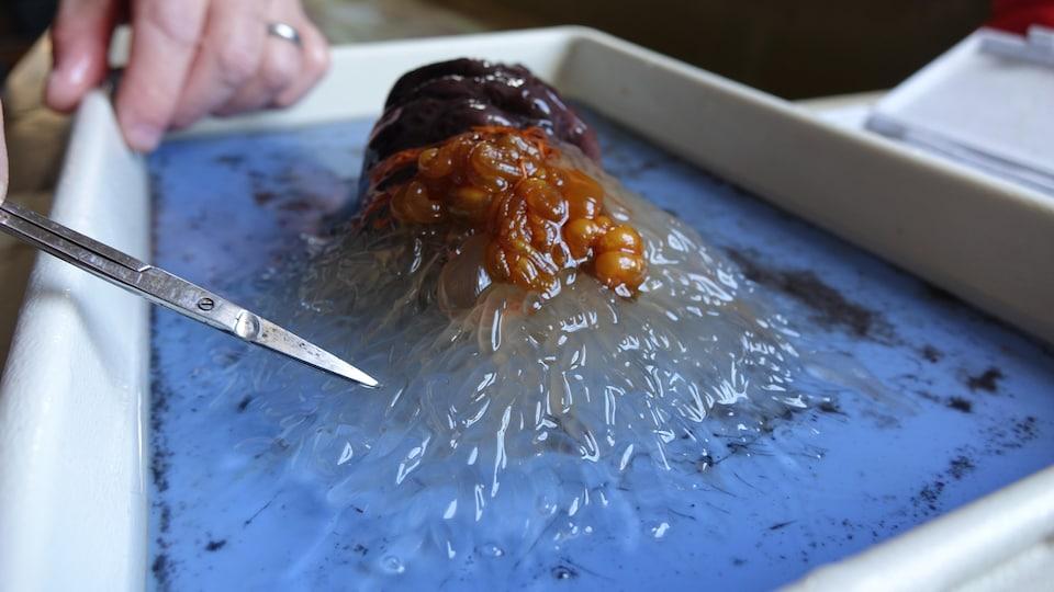 Un concombre de mer disséqué.
