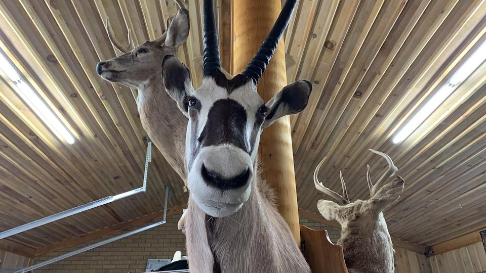 Ben Lalen, à Sainte-Eulalie, vend aussi des animaux naturalisés.