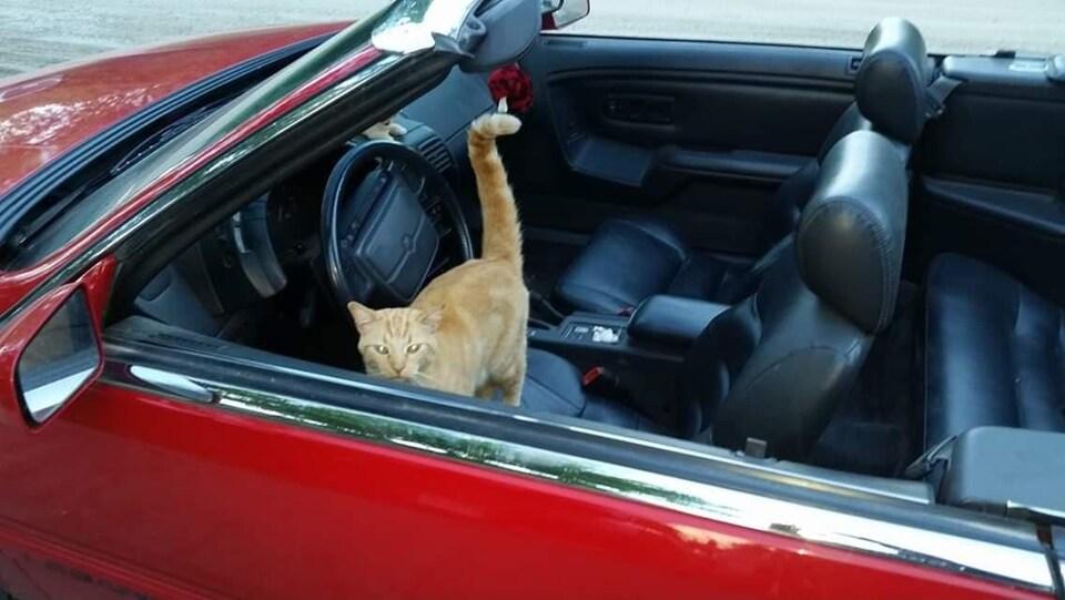 Un chat dans une décapotable rouge