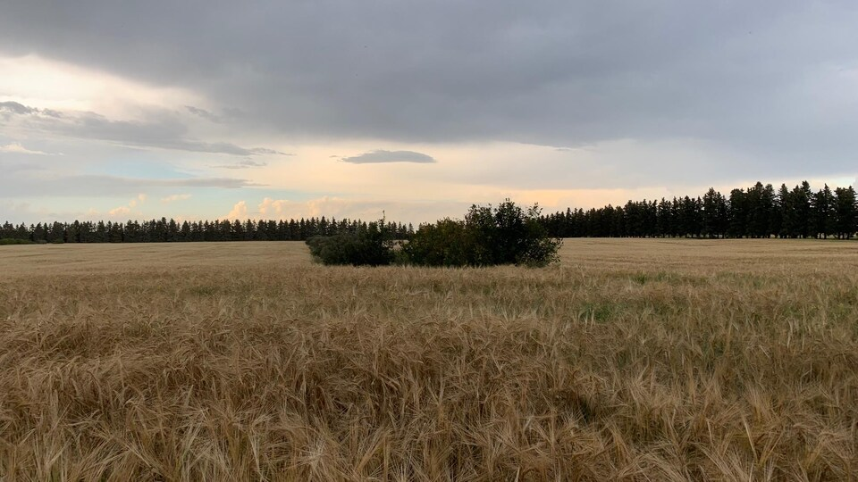 Un champs de blé sous un ciel nuageux.