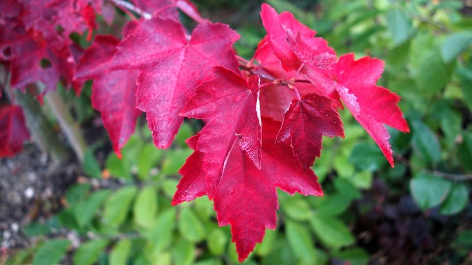 Une branche de feuilles d'érable rouge.