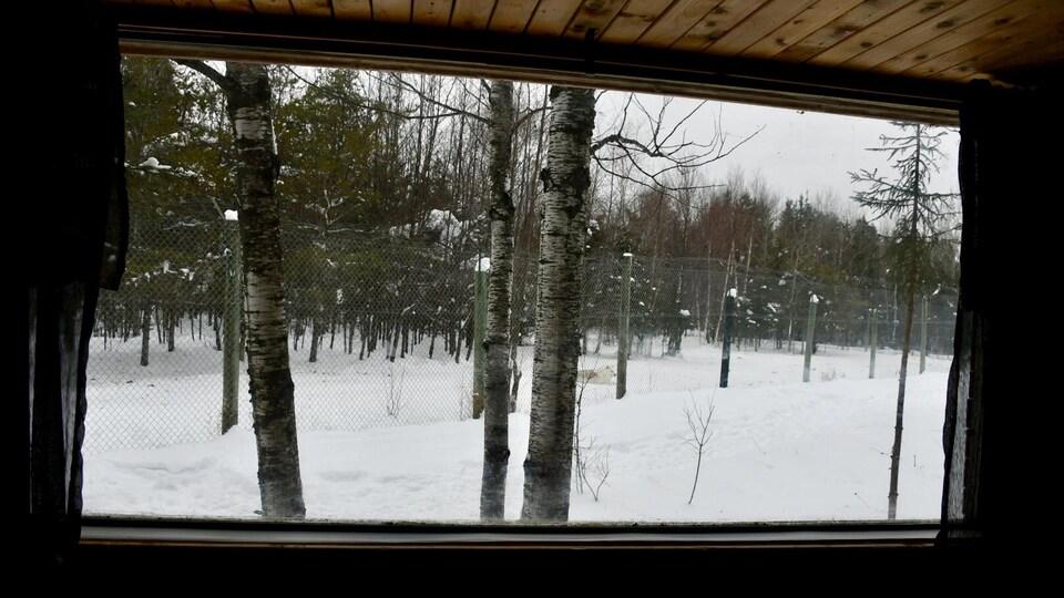 Un loup couché sur la neige vu à travers la fenêtre d'une habitation en forêt.