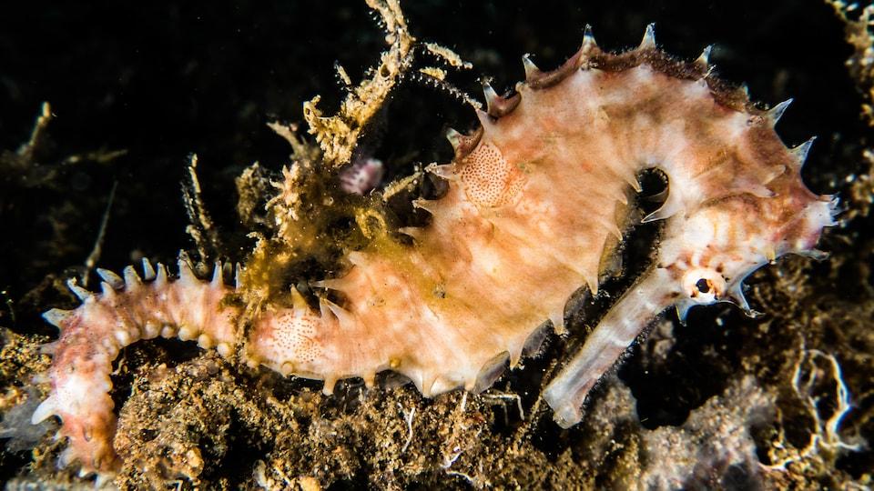 Hippocampe épineux capté dans son habitat naturel à Anilao, aux Philippines, en 2018.