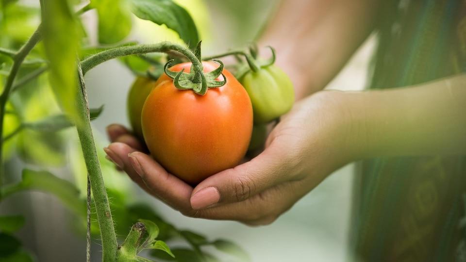 Des mains qui tiennent des tomates sur un plant.