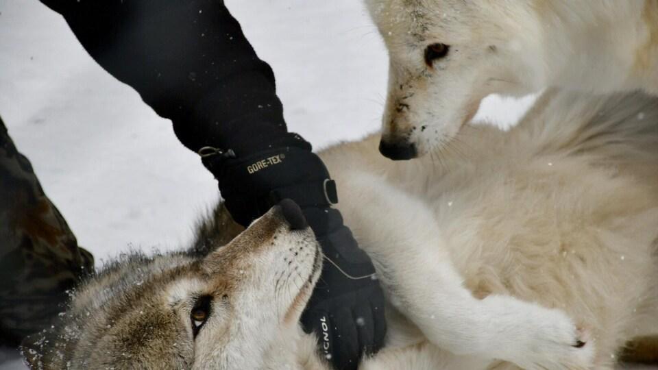 Un loup couché sur le dos dans la neige se fait flatter alors qu'un autre loup s'approche.