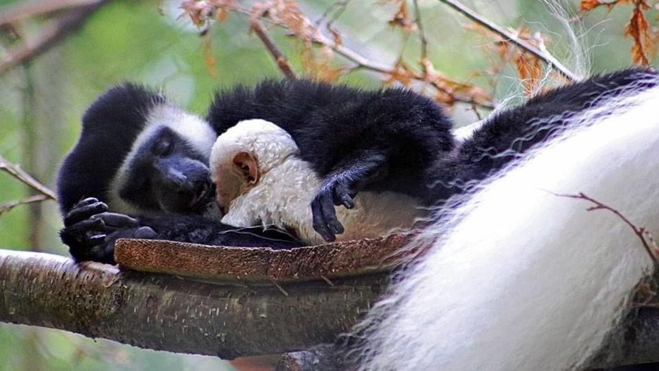 La mère colobe et son nouveau-né