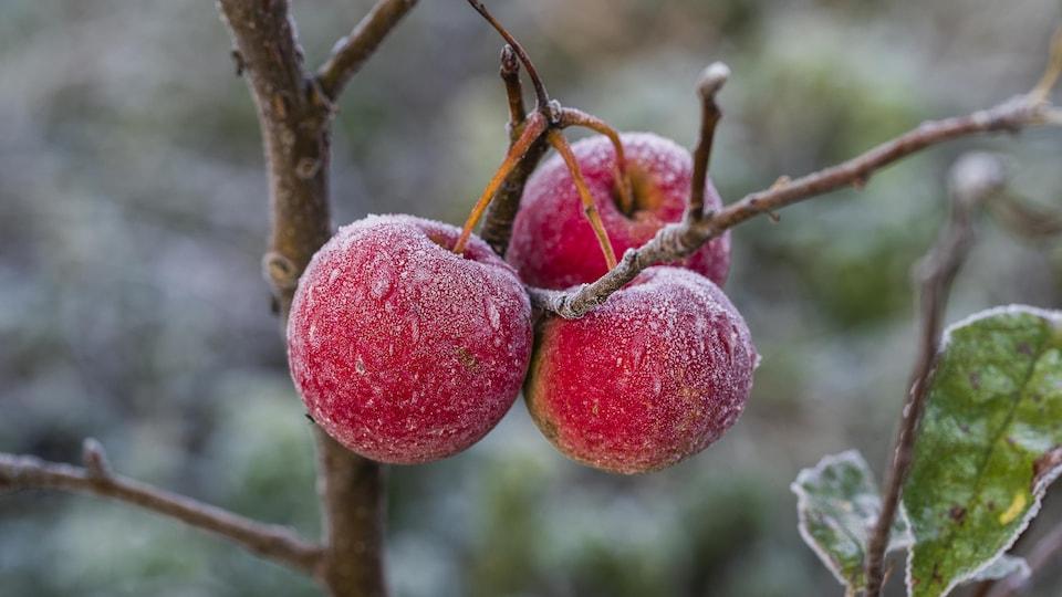 Des pommes avec du gel dans un pommier.