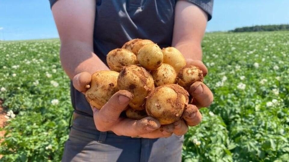 Des patates sont tenues entre les mains d'une personnes qui les présente à la caméra, en arrière-plan, un champ de pommes de terre.
