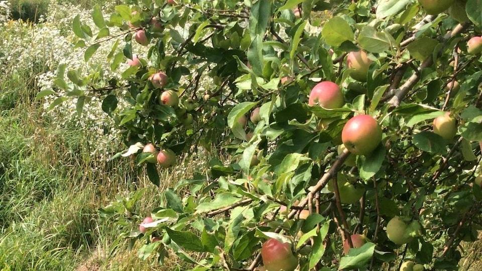 Un pommier rempli de pommes sauvages.
