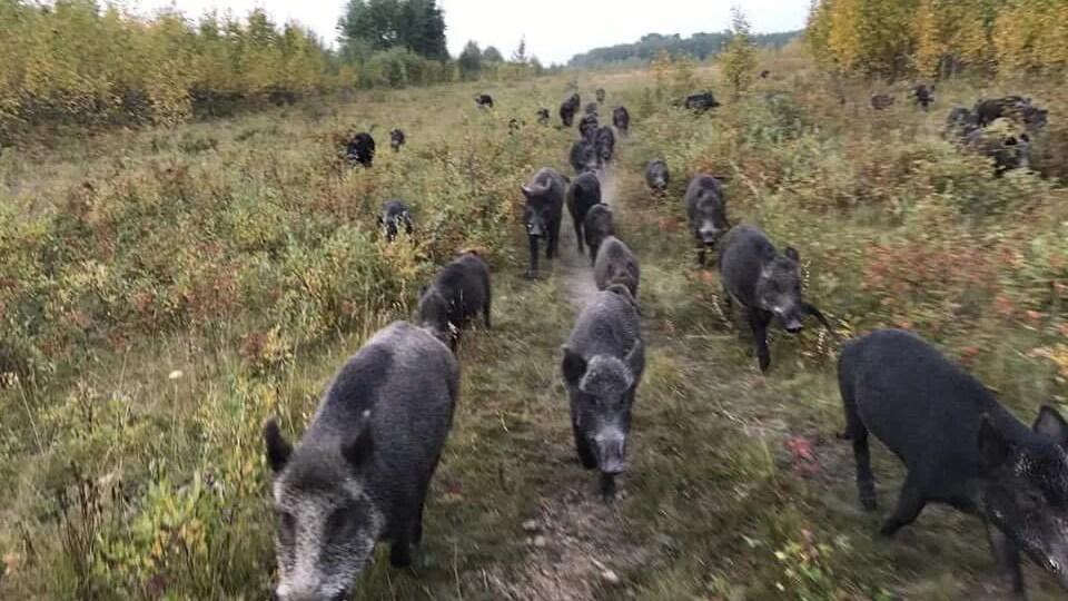 Une horde de sangliers se déplaçant sur un sentier.