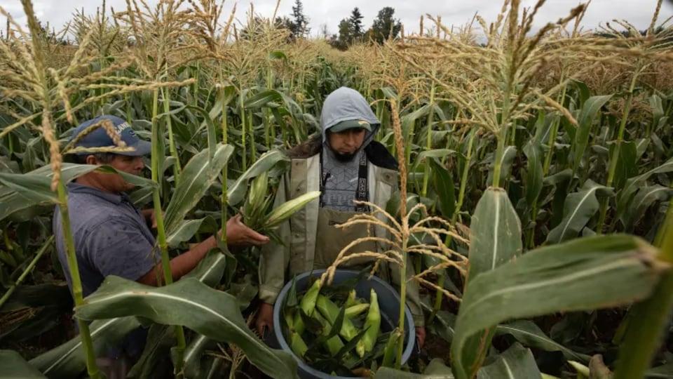 Des travailleurs migrants récoltent du maïs.