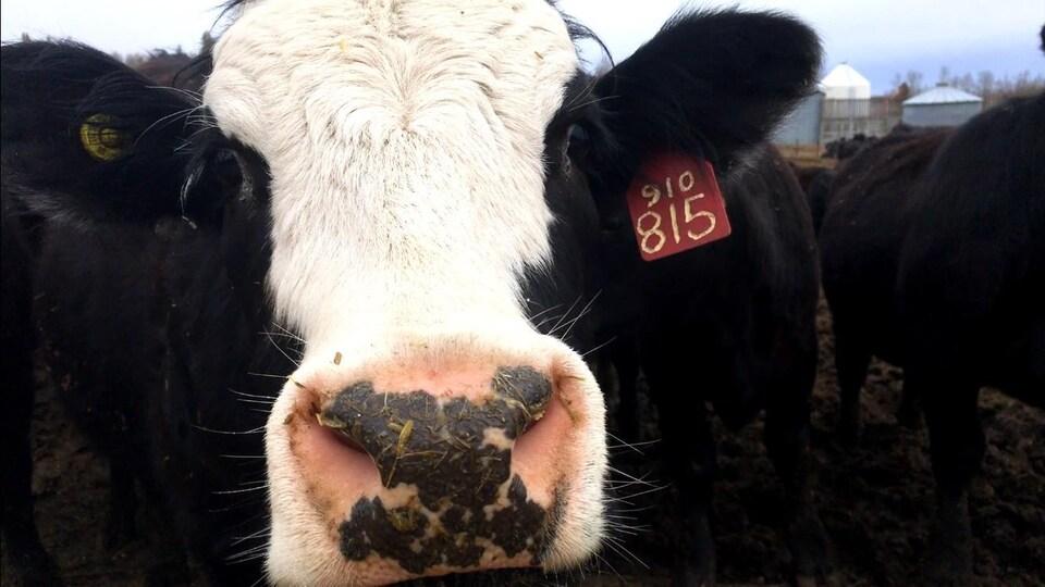 Une vache en gros plan