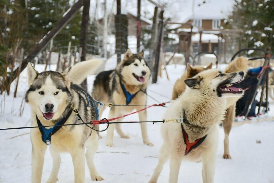 Les chiens attelés s'apprêtent à partir en excursion.