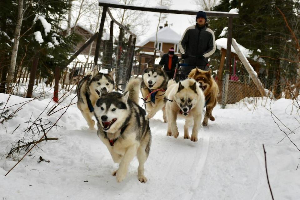 Cinq chiens de traîneau attelés tirent leur guide musher.