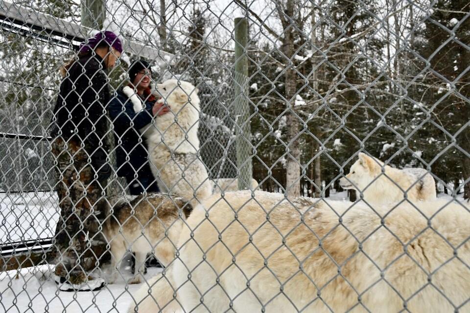 Un loup appuie ses pattes avant sur les épaules d'un visiteur et renifle son visage.