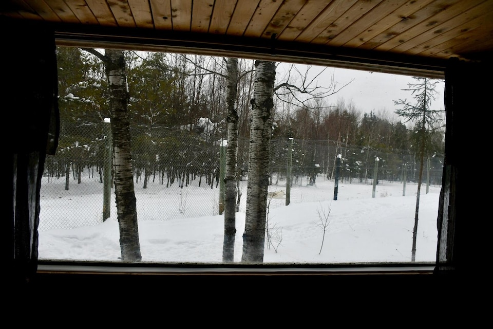 Un loup couché sur la neige, vu à travers la fenêtre d'une habitation en forêt.