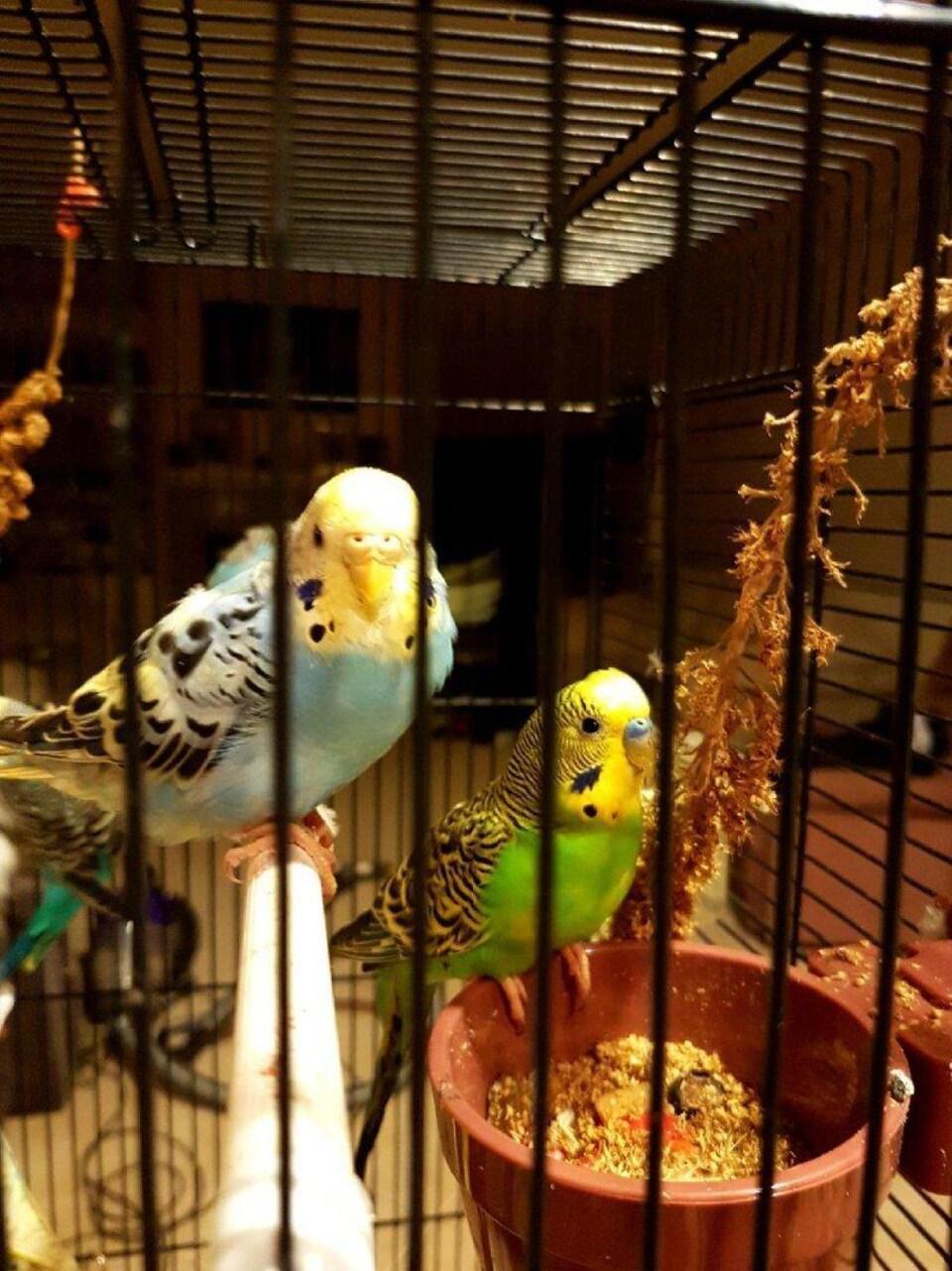 Des oiseaux mangent des graines dans une cage.