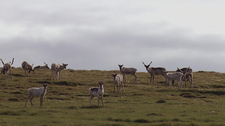 Le déclin inquiétant des hardes de caribous