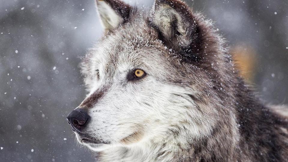 Un loup gris sous la neige.
