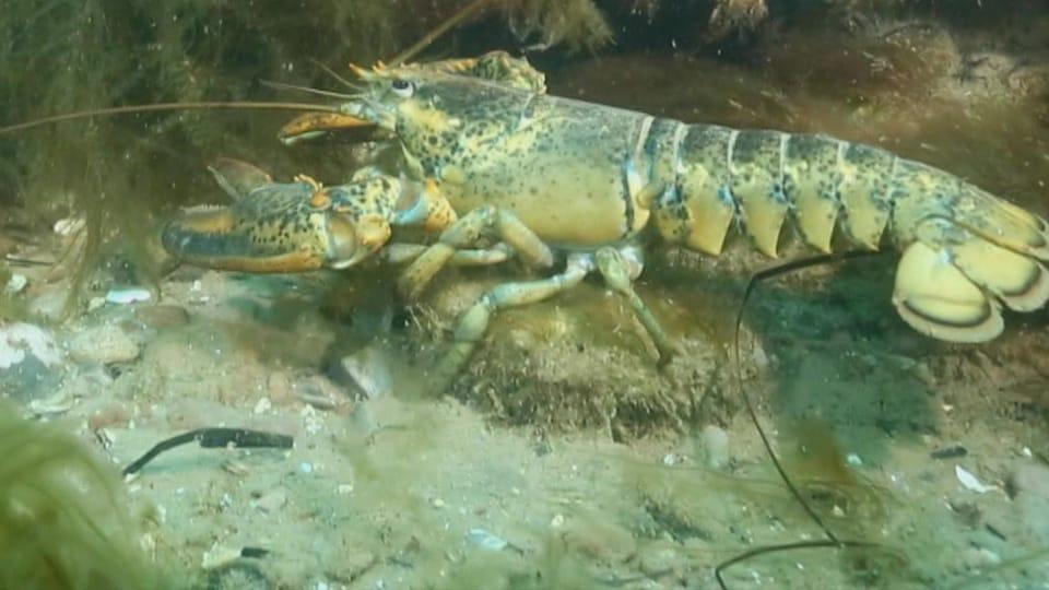 Un homard, sur une roche, dans le fond de l'eau entouré d'herbes.