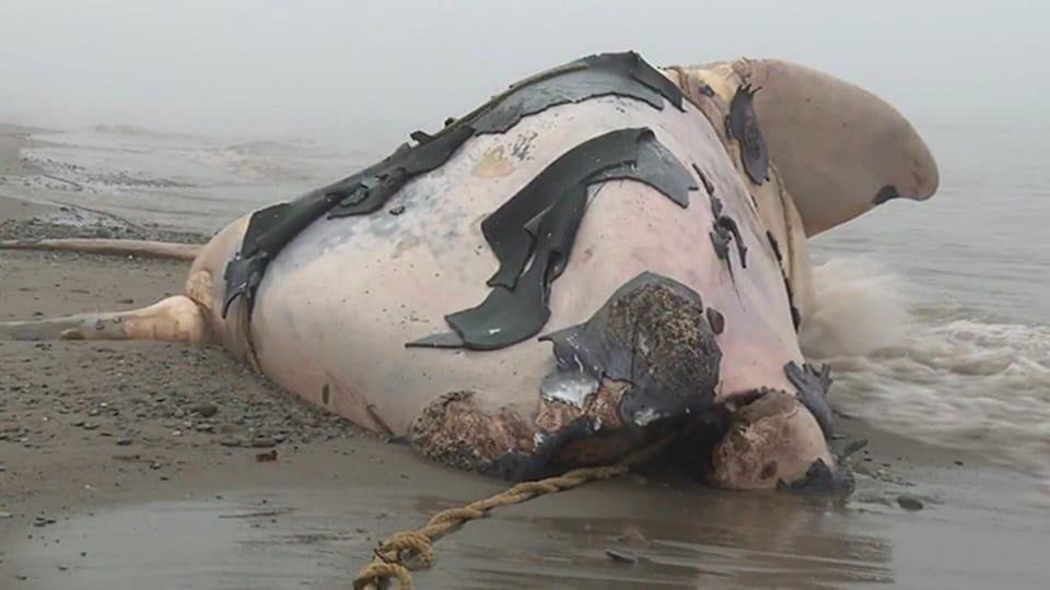 Mort de 12 baleines noires dans le Golfe du Saint-Laurent