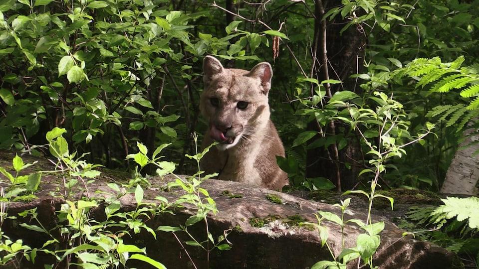 L'animal se lèche les babines dans la forêt canadienne