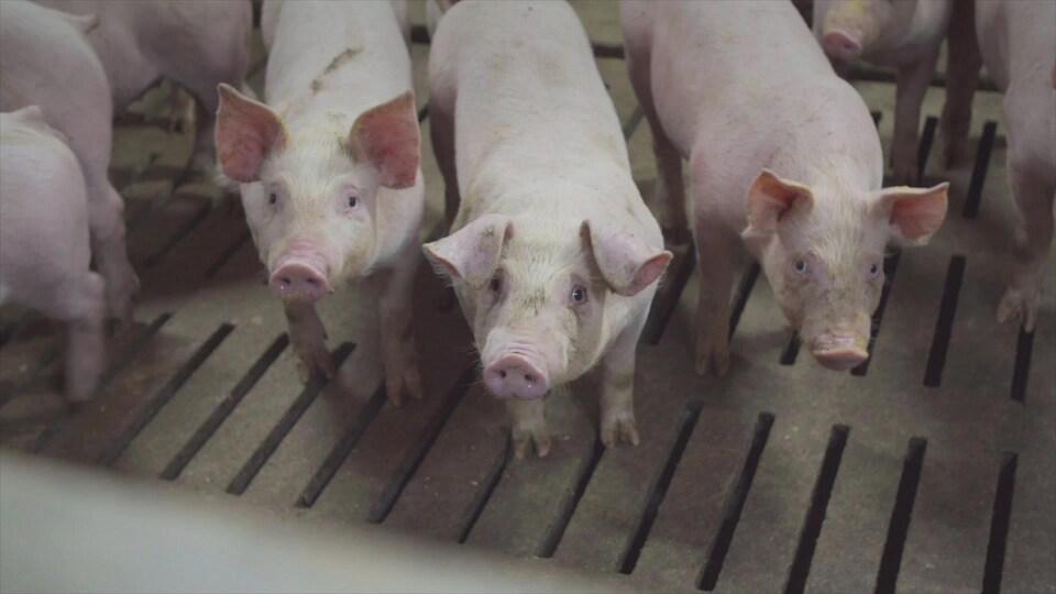 Trois porcelets dans un élevage de porc.
