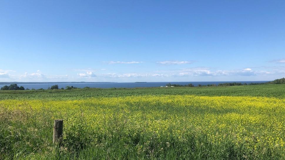 Un champ fleurit et au loin, il y a le fleuve Saint-Laurent.