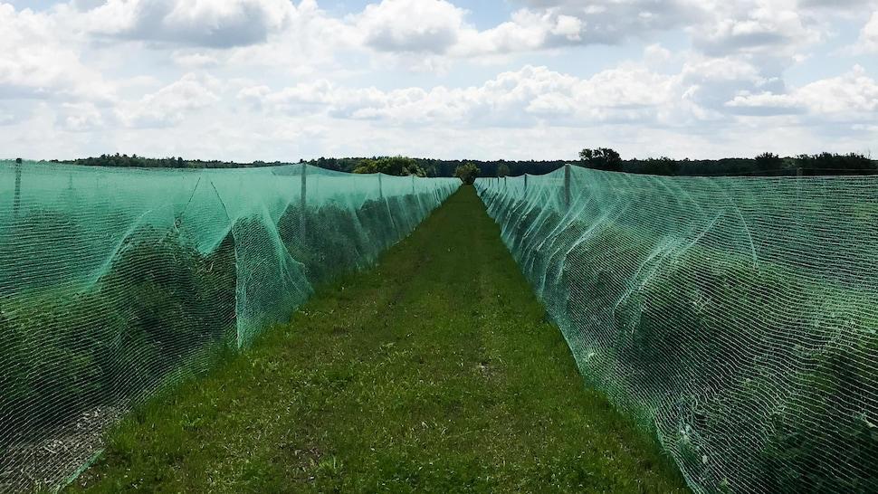 Une plantation d'arbustes de camerises.