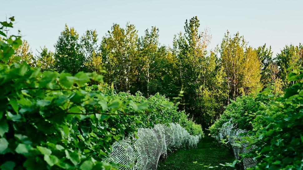Une rangée de vignes dans un vignoble.