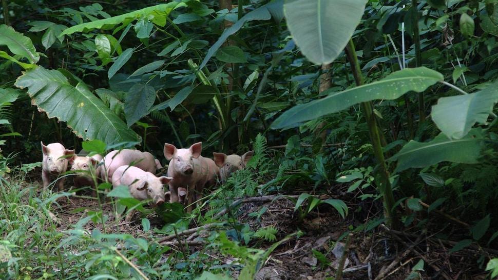 Des cochons dans une jungle.