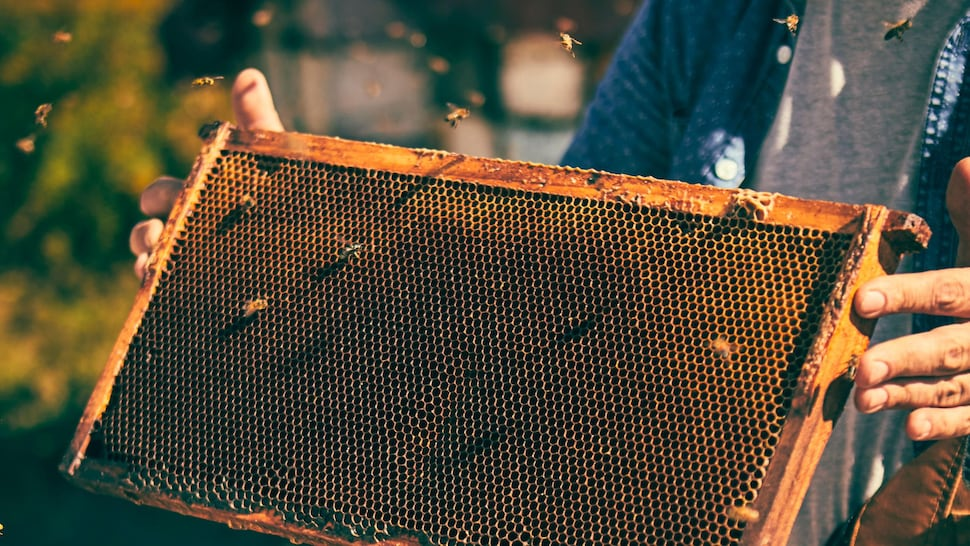 Un apiculteur tient un cadre soutenant une latte permettant aux abeilles de s'y percher.