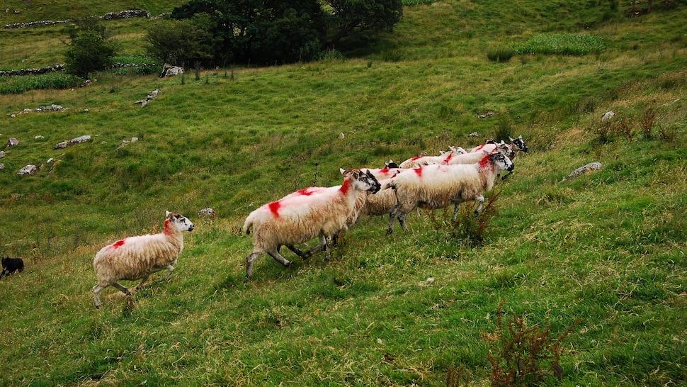 Moutons dans un champ irlandais.