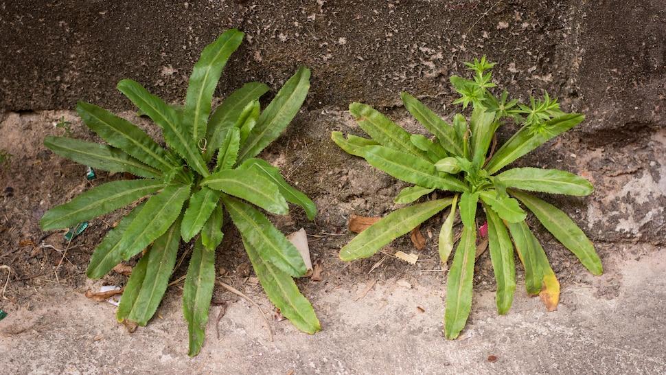 Deux plants de chardon béni poussent sur le coin d'un mur.